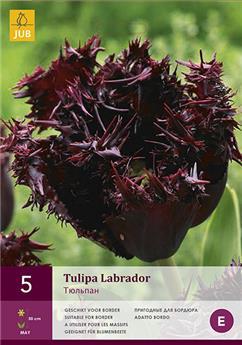 Tulipes Labrador 5 pc / POT