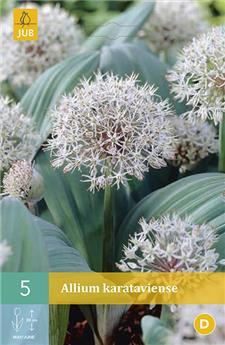 Allium karataviense 12/14 X 5 pc