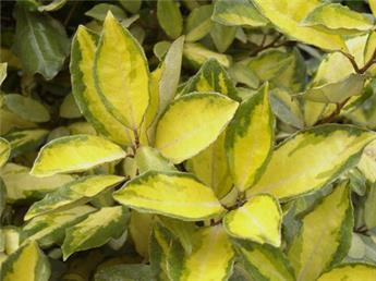 Elaeagnus ebbingei Lime Light C15