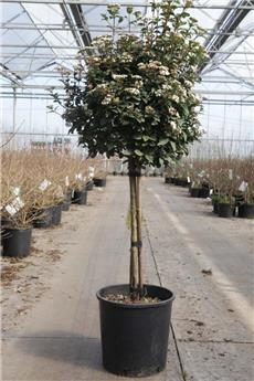 Viburnum tinus Eve Price Demi Tige Pot C12 * Tronc 70/90 cm