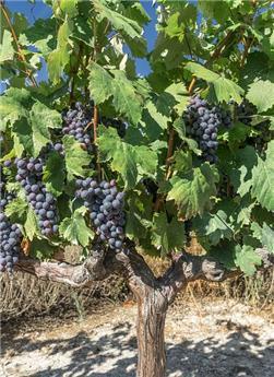 Vitis vinifera Cabernet Sauvignon Pot C3