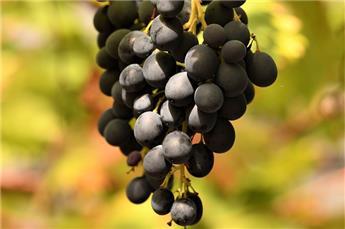 Vitis vinifera Isabella Pot C3  ** Ancienne variété **
