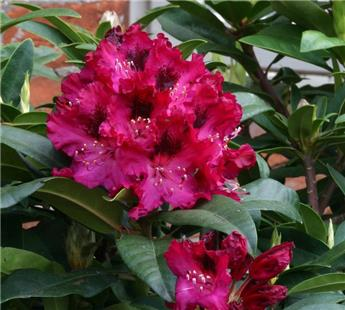 Rhododendron Madame Marie Fortier 60 80 cm Pot C23