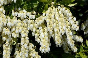 Pieris japonica Debutante 30 40Pot C3
