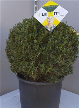 Ilex crenata Dark Green boule 60 Pot C20