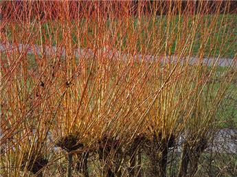 Salix Alba Chermesina Ht 14 16  ** Saule têtard **
