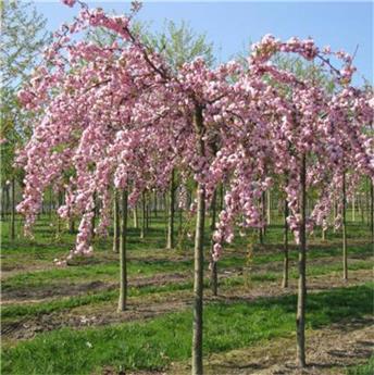 Prunus serrulata Kiku-Shidare-Zakura Demi Tige