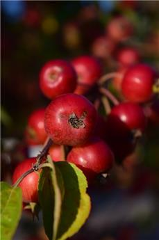 Malus Red Sentinel Demi Tige Pot P30