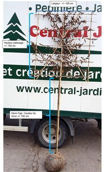 Carpinus betulus palissé Ht 150 / larg.120 cm / tronc de +/- 150 cm