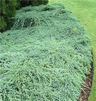 Juniperus squamata Blue Carpet C15