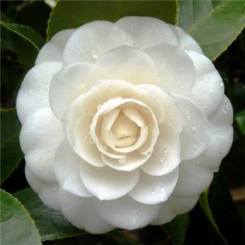 Camellia japonica Perfection White 10 ans 100 120 cm
