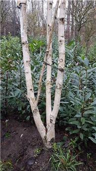 Betula Utilis Jacquemontii 550 700 cepee  **Forte plante: tronc déjà bien blanc **