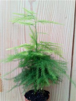 Asparagus plumosus p9