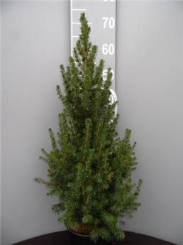 Picea glauca conica c5