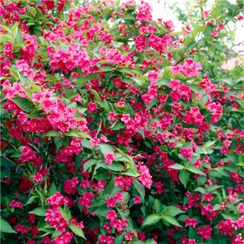 Weigela  florida All Summer Red  C 3.5L