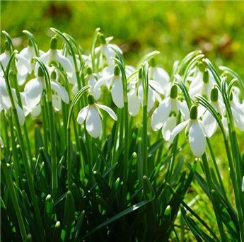 Galanthus elwesii Pot P9