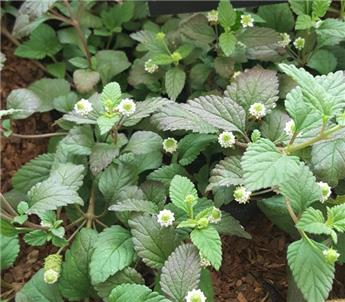 Lippia dulcis veveine sucrée P12 ** édulcolorant naturel des Aztec **