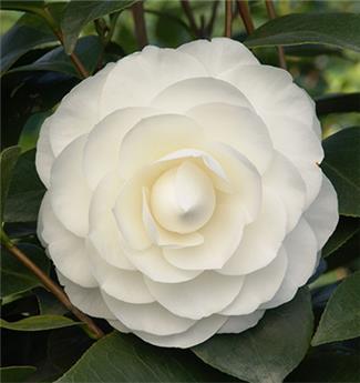 Camellia japonica Snow White Pot C7.5 ** 7 ans **