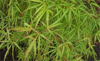 Acer palmatum Koto No Ito 100 150 Pot C14