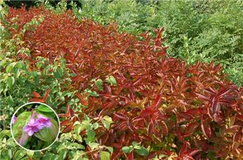 Weigela florida Wings of Fire c3.6