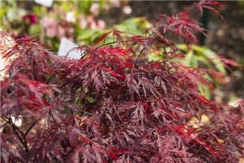 Acer palmatum Fire Cracker 175 200 Pot C20