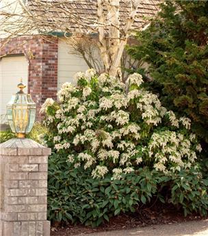 Pieris japonica Brouwers Beauty 60 70 Pot P27