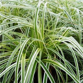 Carex oshimensis Feather Falls P17 - C2
