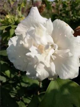 Hibiscus syriacus Admiral Dewey C3