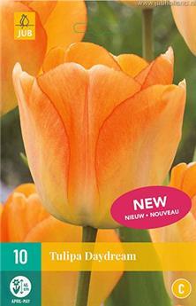 Tulipe daydream new * 10 pc cal.11/12