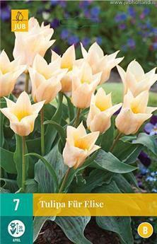 Tulipe für Elise * 7 pc cal.11/12