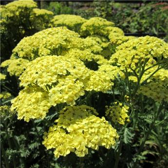 Achillea millefolium Sunny Seduction Pot C4L