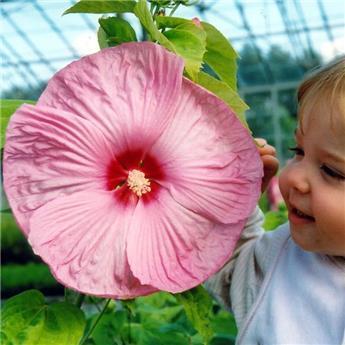 Hibiscus moscheutos Rose Vif Pot C3.5