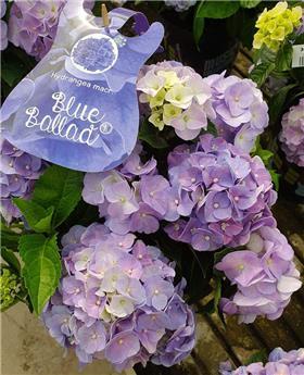 Hydrangea mac Music Blue Pot P23
