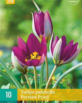 Tulipe pulchella Persian Pearl * 10 pc cal.6/+
