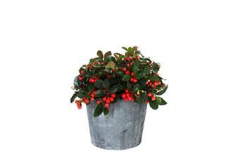 Gaultheria procumbens Big Berry Pot P15