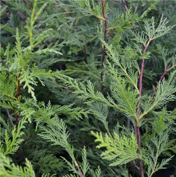 Cupressocyparis leylandii 100 125 Pot C3