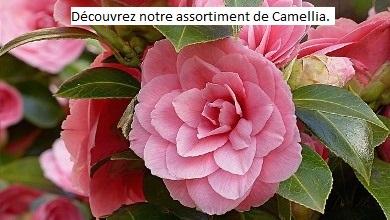 Découvrez nos Camellia