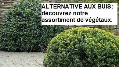 Alternatives aux buis